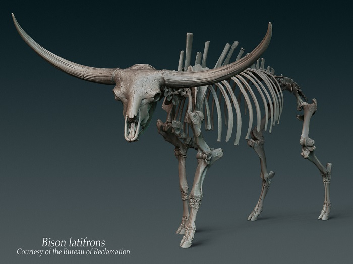 Second Carousel Slide - Bison Latifrons