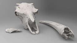 Bison latifrons skull pieces (front)