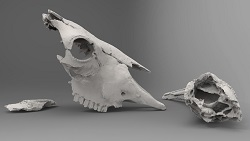Bison latifrons skull pieces (side)