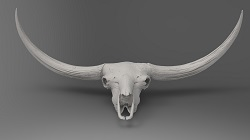 "Bison latifrons skull, aka, ""Mary Lou"" (front)"