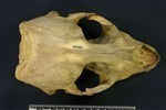 Bearded Seal (Cranium (Axial) - Dorsal)
