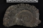 Helicoprion (Tooth Whorl (Miscellaneous) - Medial)
