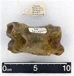 Giant Ice Age Bison (Phlanx Proximal (Pes) (Right) - Anterior)